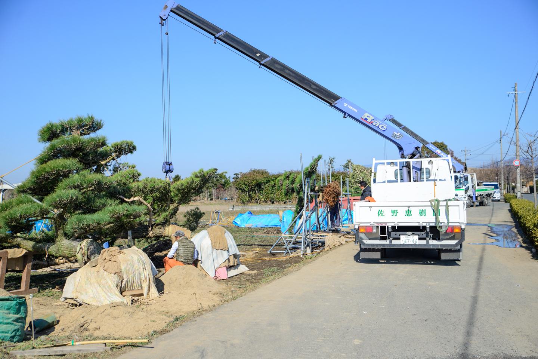 盆景用に輸出準備 クレーンで吊り下げる