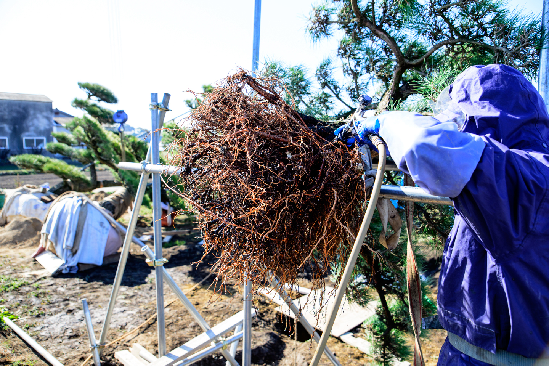 盆景用に輸出準備 根を洗う