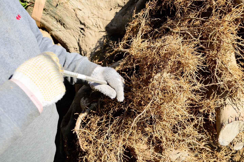 盆景用に輸出準備 根を洗う4
