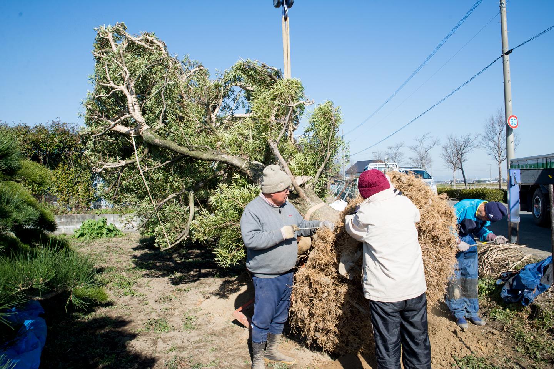 盆景用に輸出準備 樹齢100年以上の樹
